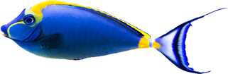 yellow-amd-blue-fish